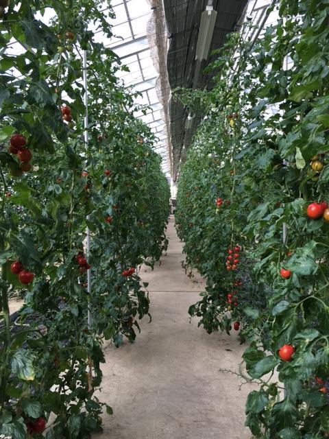 温室トマト-2